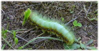 ヤママユガ の 幼虫