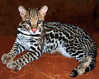 Devido a sua pele muito bonita, a jaguatirica é bastante perseguida