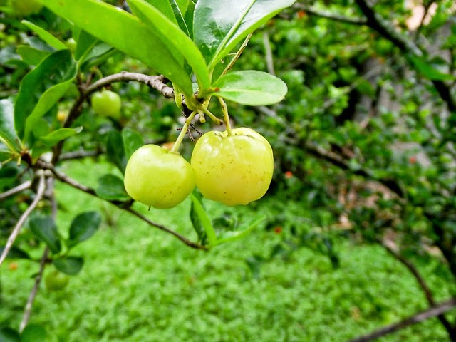 Benefits And Nutrition Of Acerola For Health