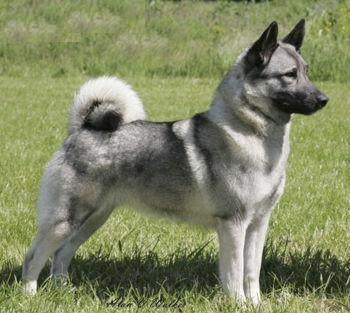 Dog Pictures Online: Norwegian Elkhound Dog Breed Photos
