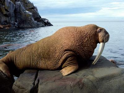 binatang terbesar di dunia - Anjing Laut