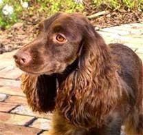 Ảnh: Giống chó Cocker Spaniel dễ mắc bệnh về tai do độ ẩm trong tai cao.