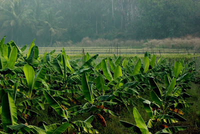 Banana Plantation in Kerala