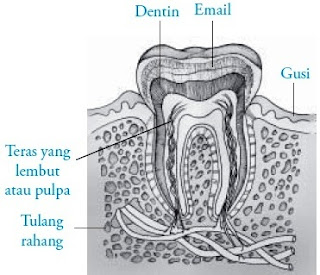 Bagian-bagian gigi