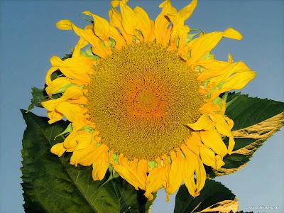 Ήλιος: σπορά φύτεμα καλλιέργεια