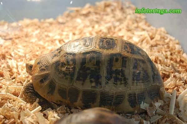 Indotestudo elongata - Tortuga de cabeza amarilla