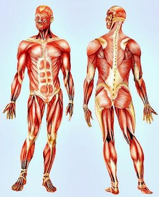 Tipos de fibras musculares fisiologia