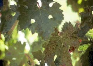 abonado del viñedo