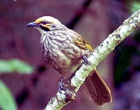 Foto Burung Cucakrowo Jantan