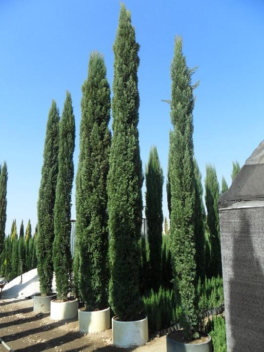 Proyecto nueva xalapa proyecto nueva xalapa for Tipos de pinos para jardin fotos