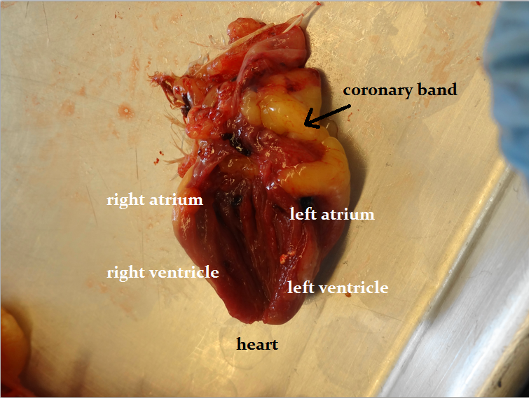 Animal Science Chicken Dissection: Cardiovascular System