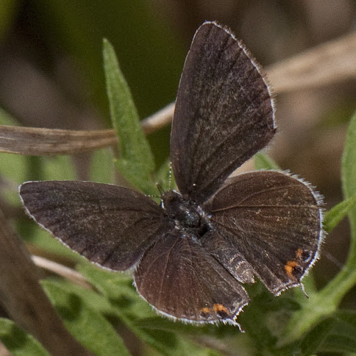 Gray hairstreak (Strymon meli)