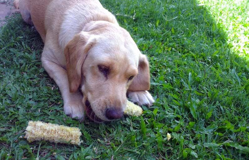Cachorro pode comer milho verde?