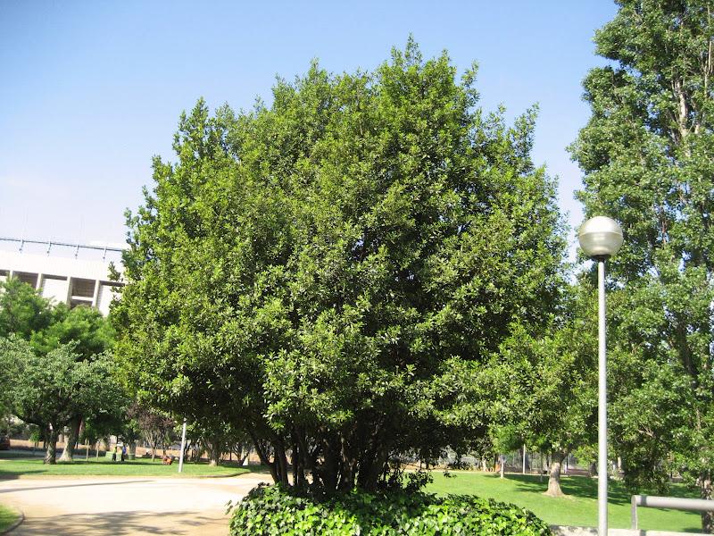 Rboles con alma laurel llorer laurus nobilis - Laurel de jardin ...