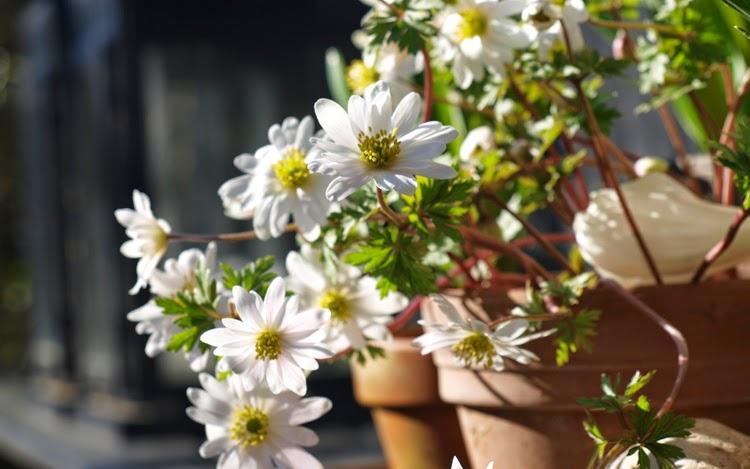 Hvide balkan-anemoner i haven