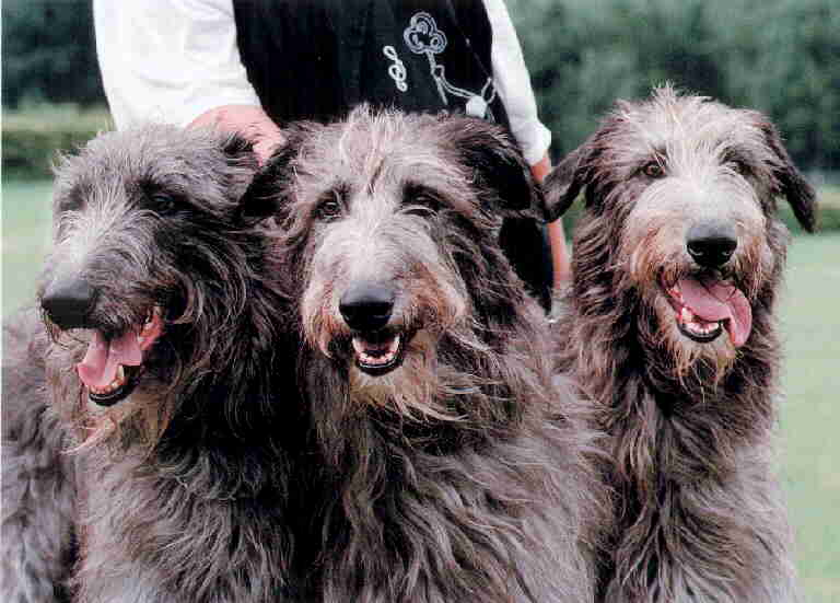 Scottish Deerhound on movie