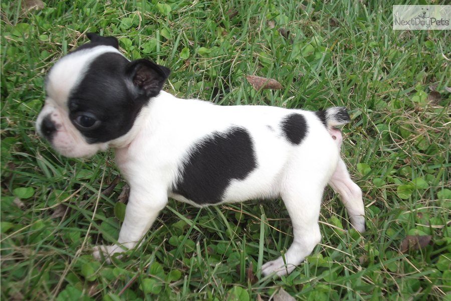 Cute Puppy Dogs: White Boston Terrier Puppies