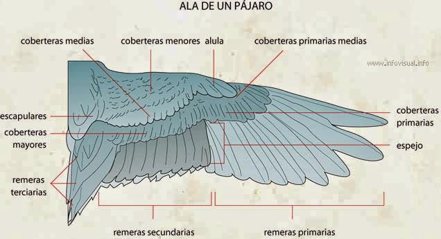Enigma Resolt Sobre les Ales dels Ocells