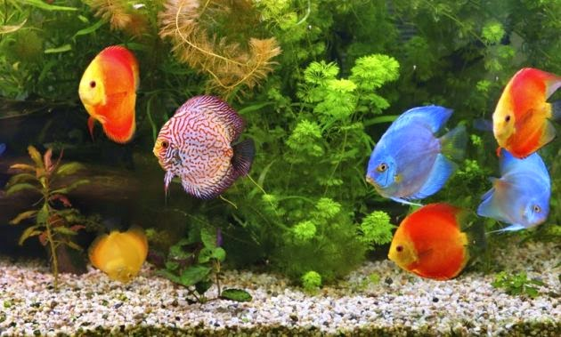 Todomascotas com c mo elegir peces para una pecera for Peces para pecera