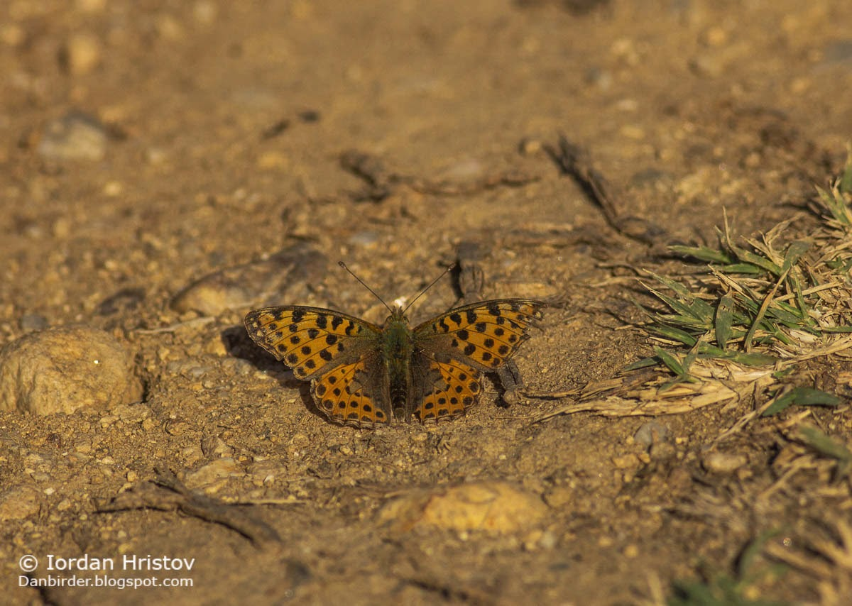 Queen of Spain Fritillary Issoria lathonia, copyright Iordan Hristov