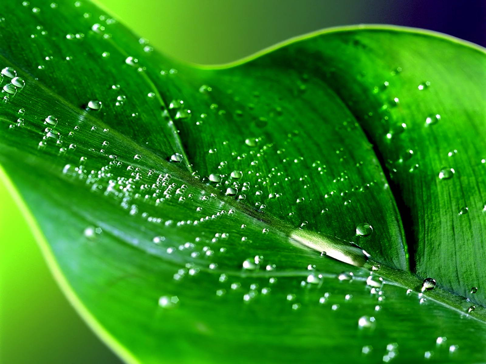 http://4.bp.blogspot.com/-Abe7yufSBOs/UOtWqjBuG3I/AAAAAAAAArc/MTUnjuUznoA/s1600/summer+rain+drops+wallpaper+desktop+on+a+green+leaf+hd+lush.jpg