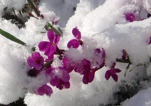 Flores Nevadas