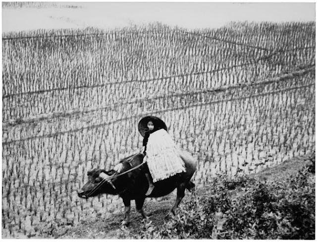 Rizière, Indochine, 1936 ; Personnage monté sur un buffle, dans une rizière