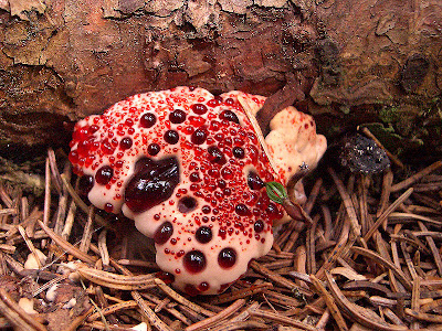 Bleeding Tooth Fungus