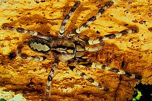 Rameshwaram Ornamental Spider