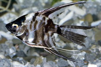 Assorted Veil Angelfish Pterophyllum scalare Pictures