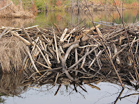 sticks for beaver dam