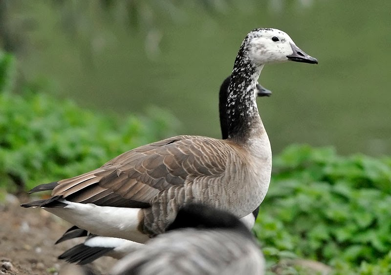 canada goose barnacle goose hybrid