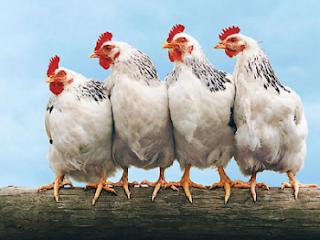 Một giống gà công nghiệp. Ảnh minh họa.