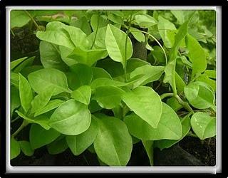 Binahong leaves