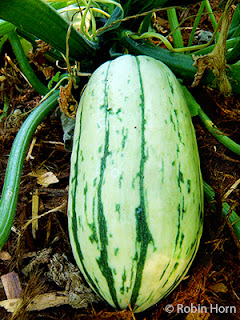 Delicata Squash on Vine
