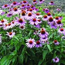 Echinacea purpurea, cúc tím, cúc dại