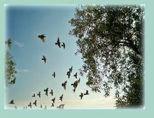 volo di colombe