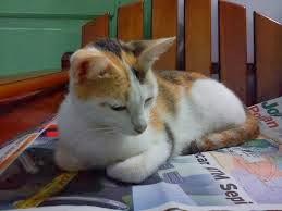 kucing belang