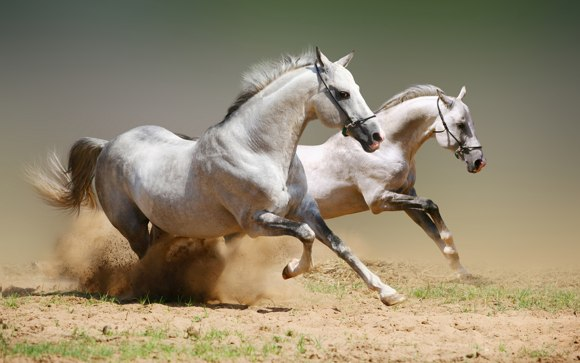 Horses Photo Art Wallpaper 02