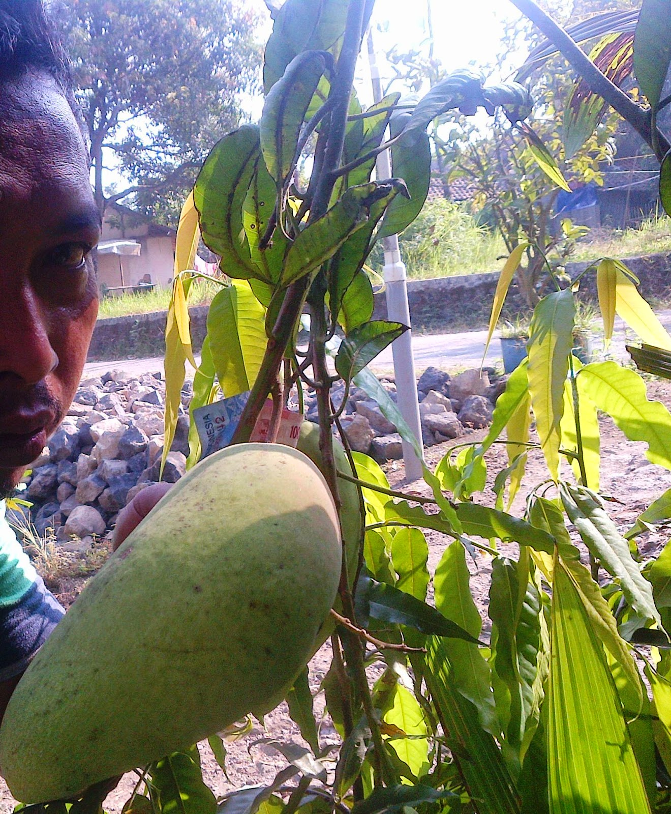PD Mekar Tani Abadi Tabulampot Durian Mhontong