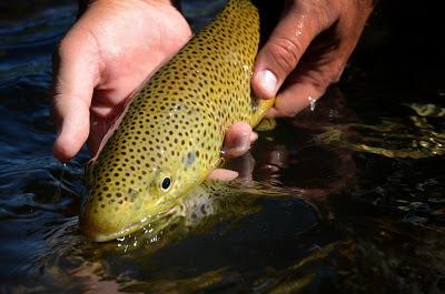 big brown trout streamer