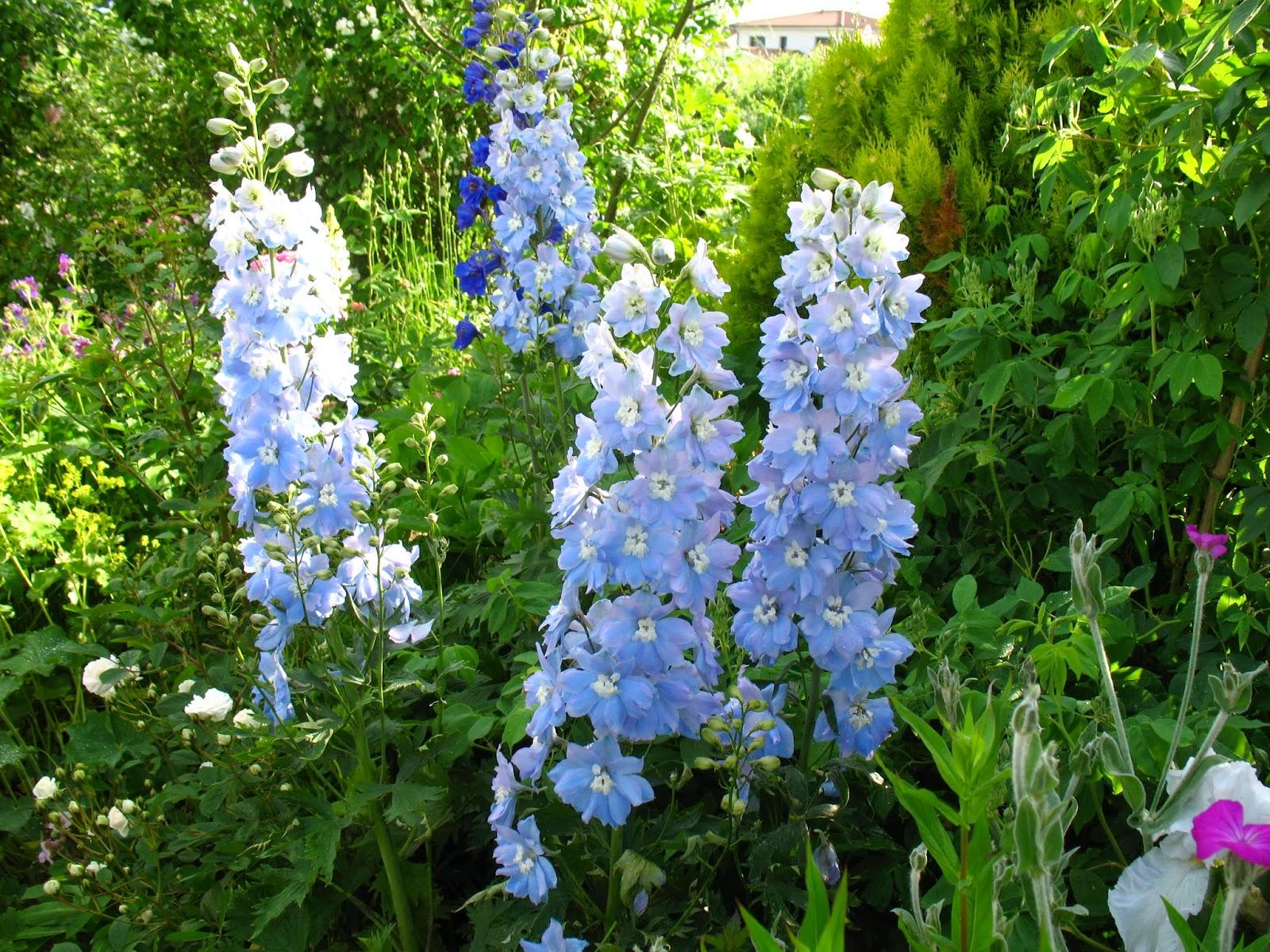 Roses du jardin ch neland un delphinium solide et florif re - Quoi planter en juin ...