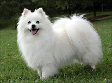 American Eskimo Dog, dog, Dogs, pet, pets,