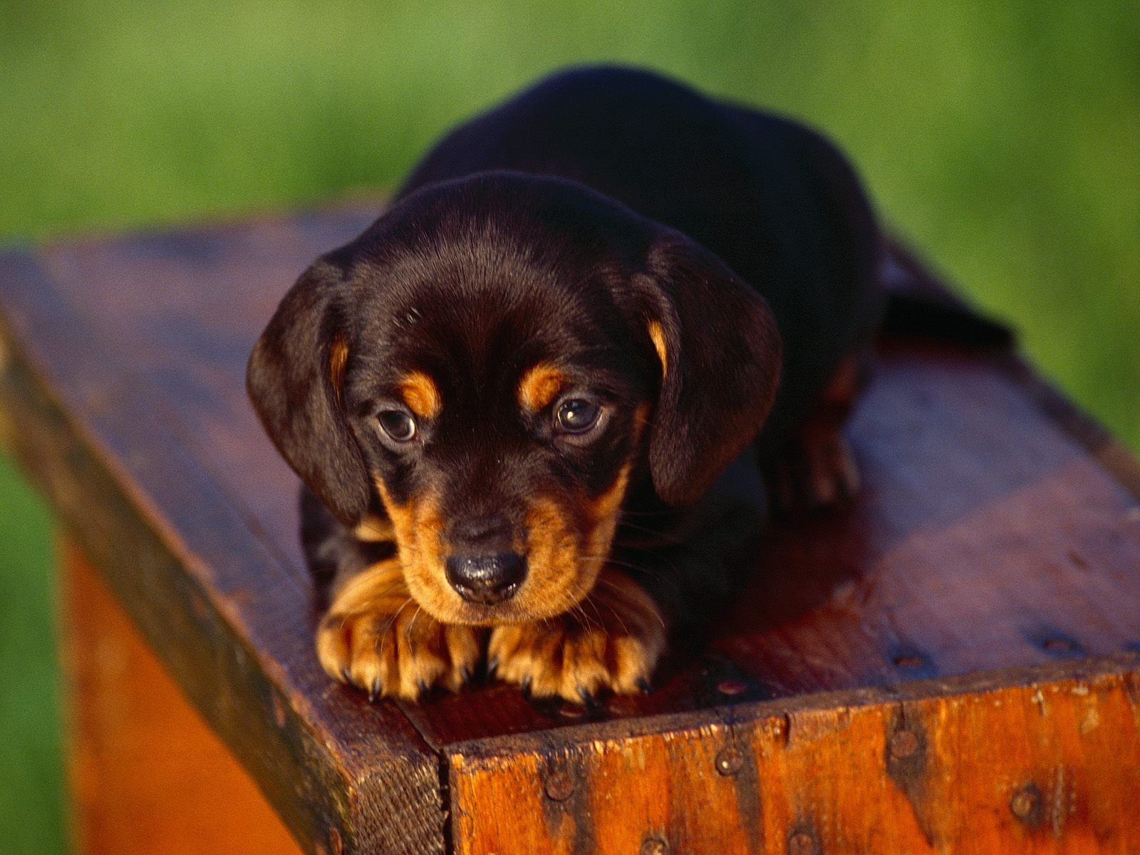 Winter Wallpaper Dachshund Dogs Free mini dachshund puppy wallpaper x Cute Wallpaper Blackberry