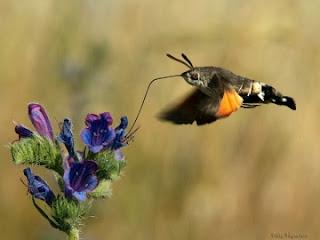 Colibri esfinge mariposa