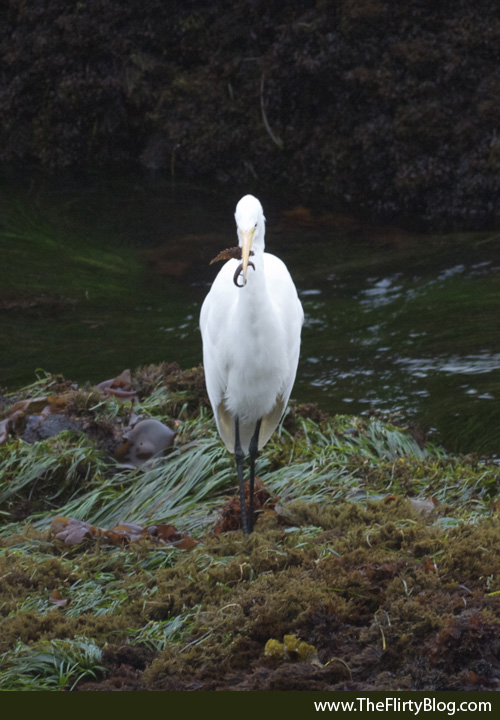 Giant White Heron, Gunnel Fish