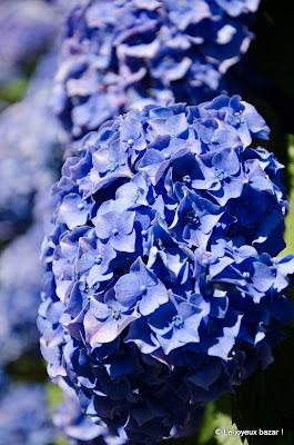 Bretagne - Hortensias bleus