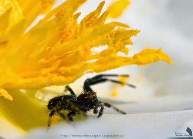 Macho de Synema globosum bajo los estambres de una flor de jara.