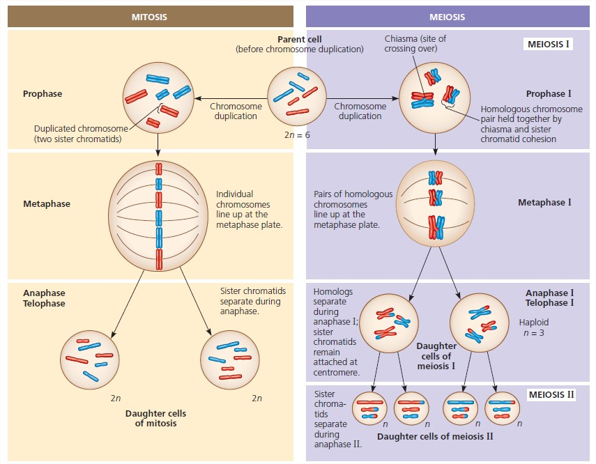 differences between mitosis and meiosis essay Between meiosis and mitosis there are many unique similarities and differences such that mitosis has four stages and meiosis has eight or a similarity where they both have no new gene combination when each of the cells splits after each of their processes.