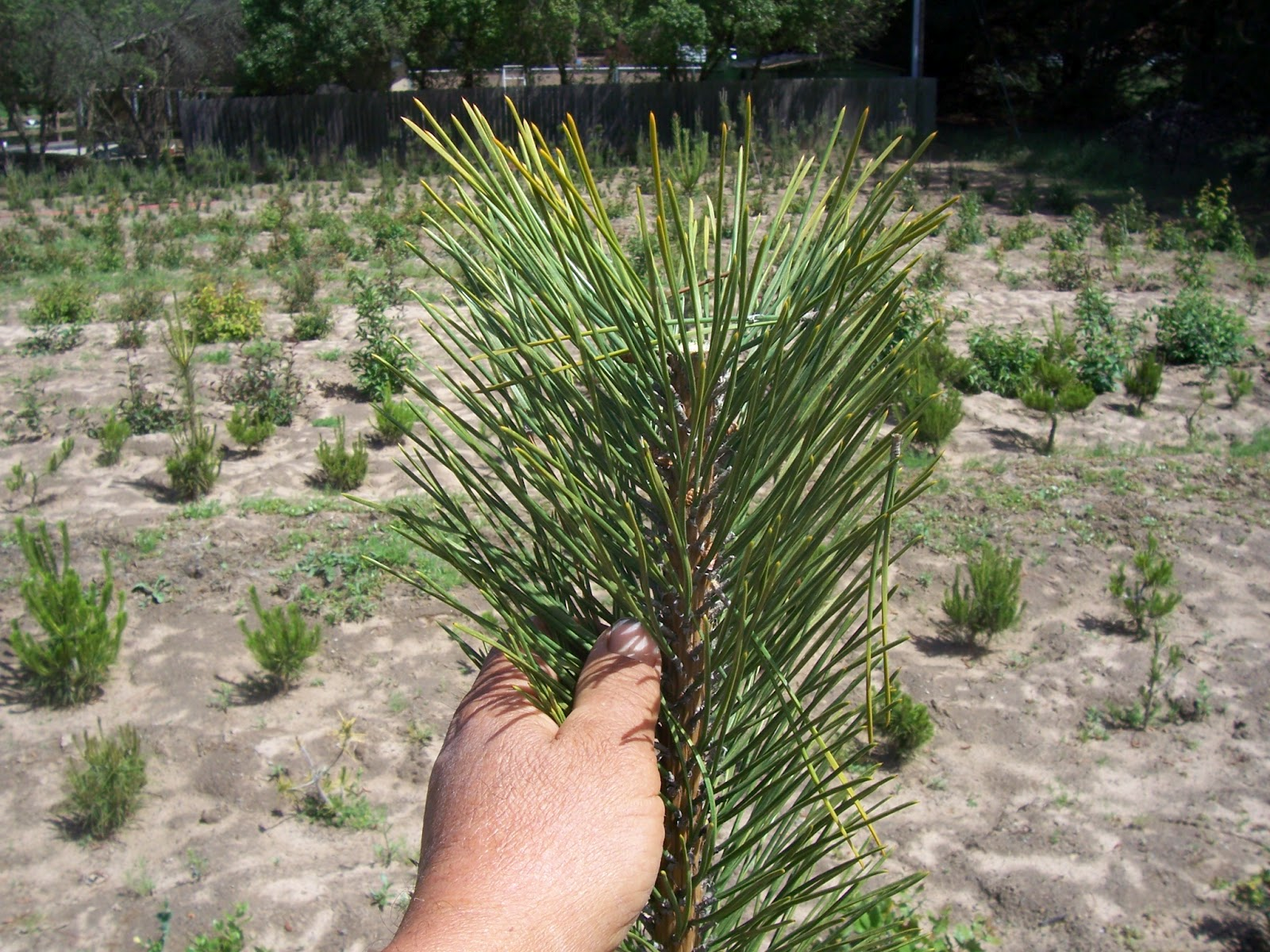 What39s Happening At Muranaka Bonsai Nursery Japanese Black Pine